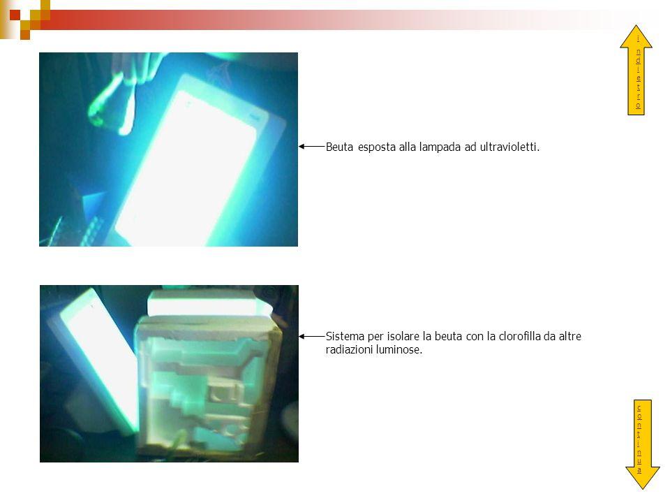 indietroindietro Beuta esposta alla lampada ad ultravioletti. Sistema per isolare la beuta con la clorofilla da altre radiazioni luminose. continuacon