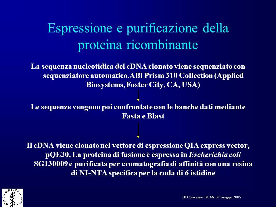 III Convegno SCAN 31 maggio 2005 Espressione e purificazione della proteina ricombinante La sequenza nucleotidica del cDNA clonato viene sequenziato c