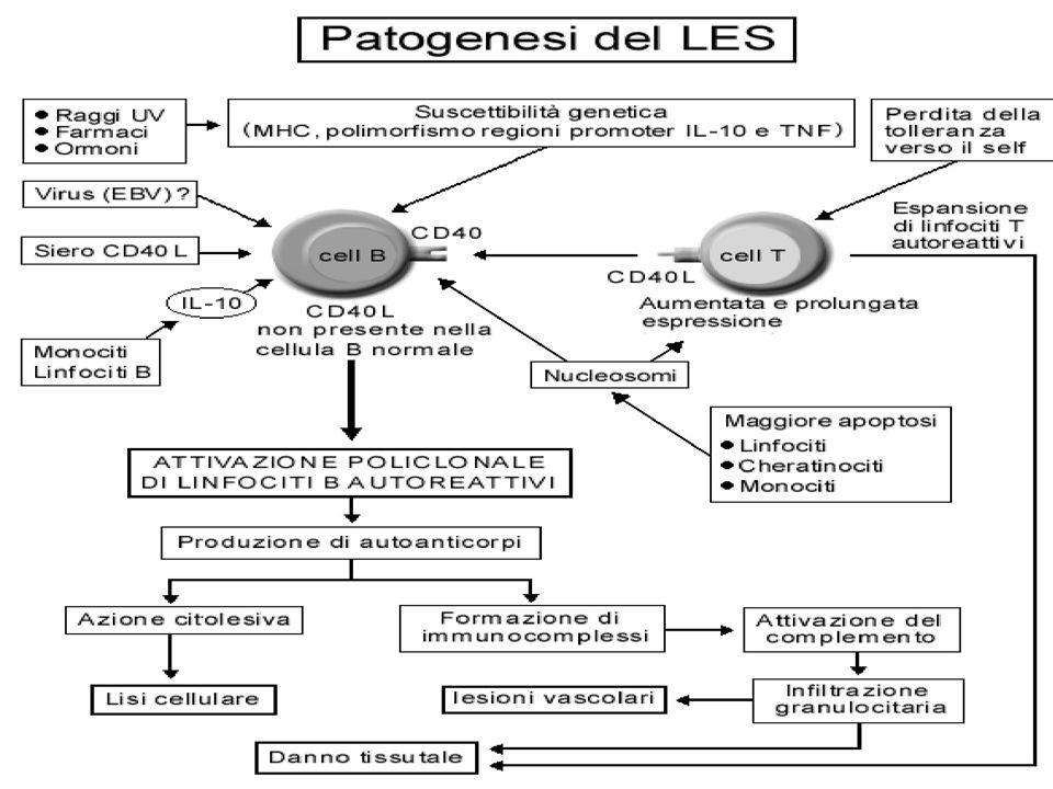 Autoanticorpi associati con il LES Autoanti corpo Frequen za(%) Specificità diagnostica ANA95-98Di screening ma non specifici Anti- dsDNA 50-60Alta.