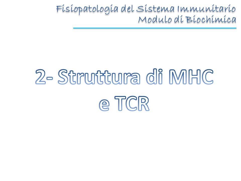 Introduzione: lMHC MHC I e II sono strutturalmente differenti ma omologhe Sono i geni più polimorfi Sono espressi in modo codominante -Espresso su tutte le cellule nucleate (costitutivamente) -Riconosciuto da CD8+ -Espresso sulle APC (potenziato da citochine) -Riconosciuto da CD4+ TessutoMHC classe I MHC classe II Tessuto linfoide Linfociti T++++ (uomo, T attivate) Linfociti B+++ Macrofagi+++++ Langherans+++ Epiteliali timo++++ Altre cellule nucleate Neutrofili+++- Epatociti+- Reni+- Cervello+- (ecc.