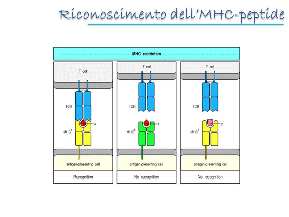 Riconoscimento dellMHC-peptide
