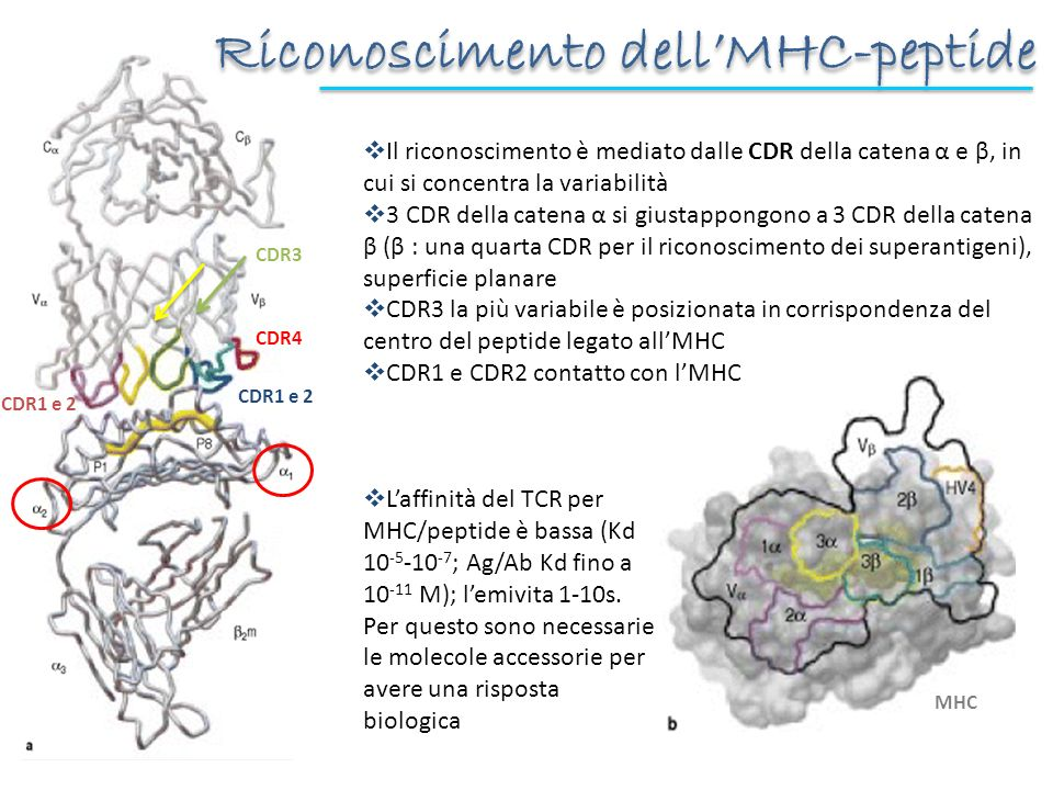 Il riconoscimento è mediato dalle CDR della catena α e β, in cui si concentra la variabilità 3 CDR della catena α si giustappongono a 3 CDR della cate