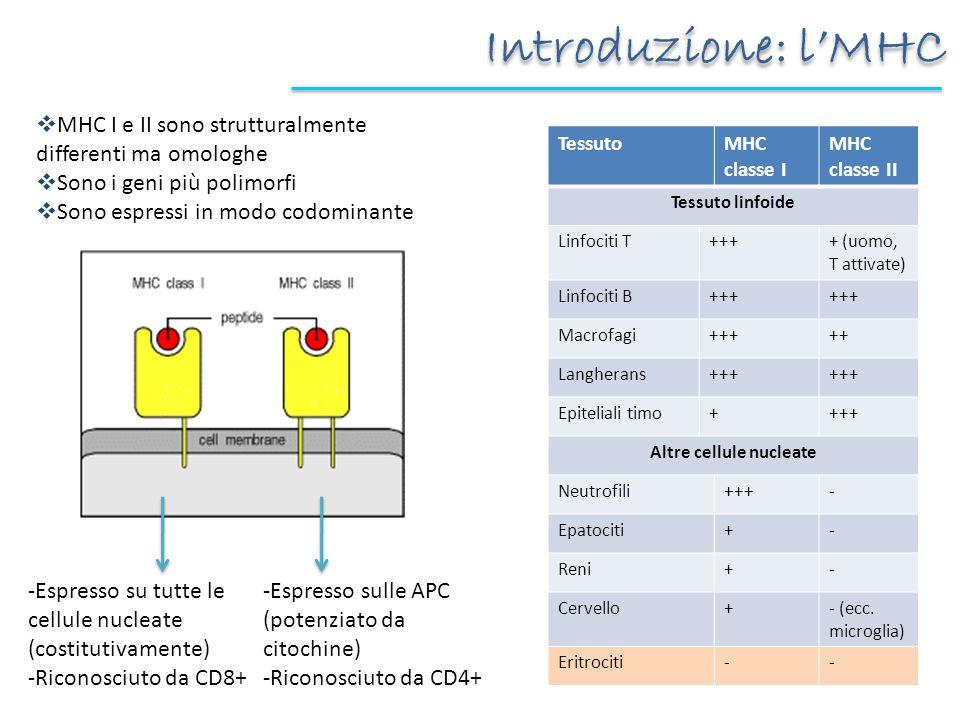 Introduzione: lMHC MHC I e II sono strutturalmente differenti ma omologhe Sono i geni più polimorfi Sono espressi in modo codominante -Espresso su tut