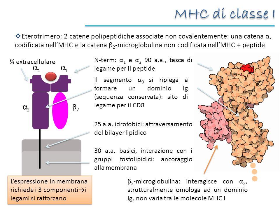 MHC di classe I Eterotrimero; 2 catene polipeptidiche associate non covalentemente: una catena α, codificata nellMHC e la catena β 2 -microglobulina n