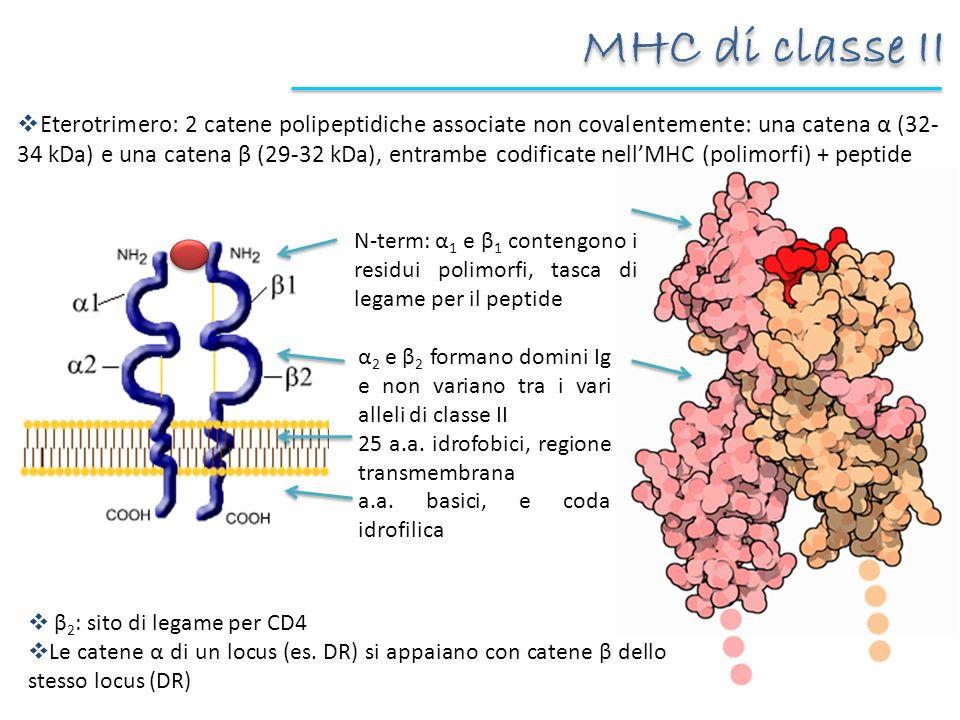 MHC di classe II Eterotrimero: 2 catene polipeptidiche associate non covalentemente: una catena α (32- 34 kDa) e una catena β (29-32 kDa), entrambe co