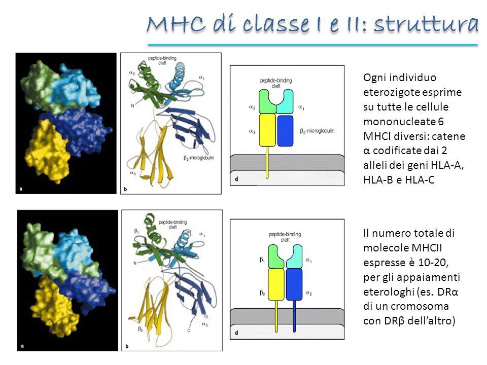 MHC di classe I e II: struttura Ogni individuo eterozigote esprime su tutte le cellule mononucleate 6 MHCI diversi: catene α codificate dai 2 alleli d