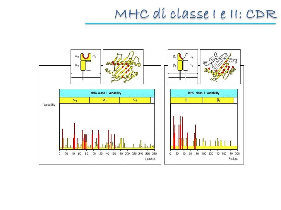 MHC di classe I e II: legame al peptide MHC classe I MHC classe II Potenziale elettrostatico: positivo, negativo I peptidi e le molecole dacqua associate riempiono interamente la tasca Differenti alleli favoriscono il legame di peptidi diversi (e quindi la possibilità di presentarli ai linfociti T) Al riconoscimento antigenico (TCR) contribuiscono: residui esposti del peptide specificità residui dellMHC restrizione MHC