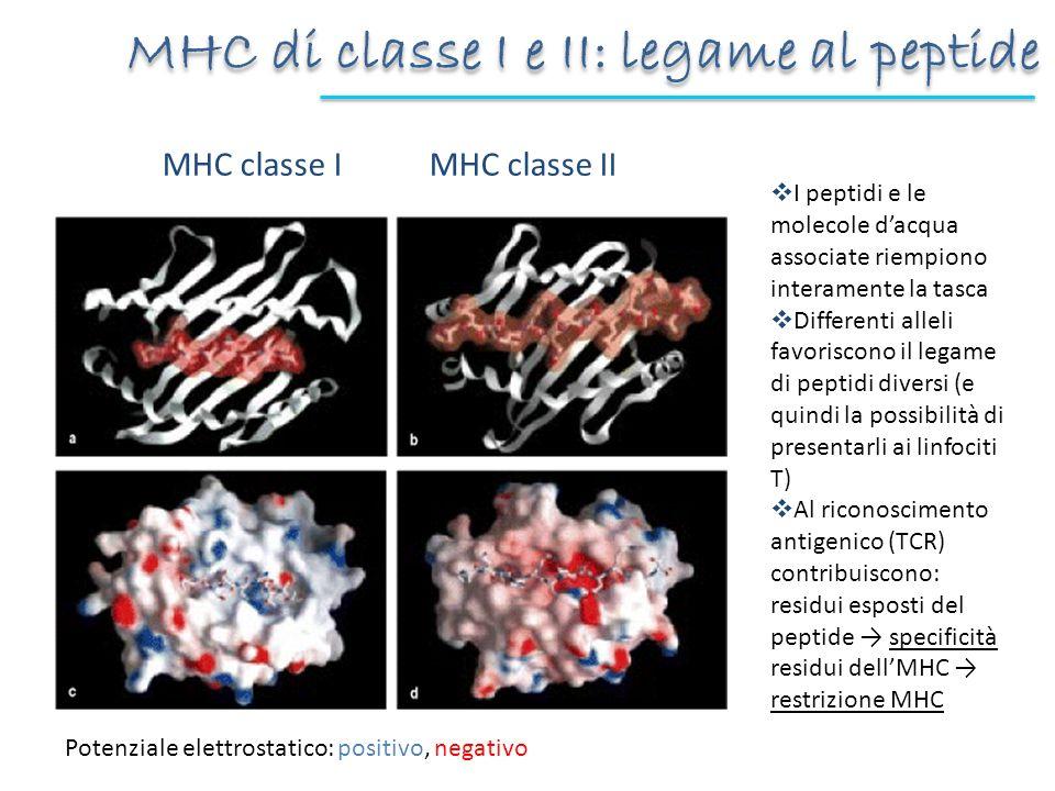 MHC di classe I e II: legame al peptide MHC classe I MHC classe II Potenziale elettrostatico: positivo, negativo I peptidi e le molecole dacqua associ
