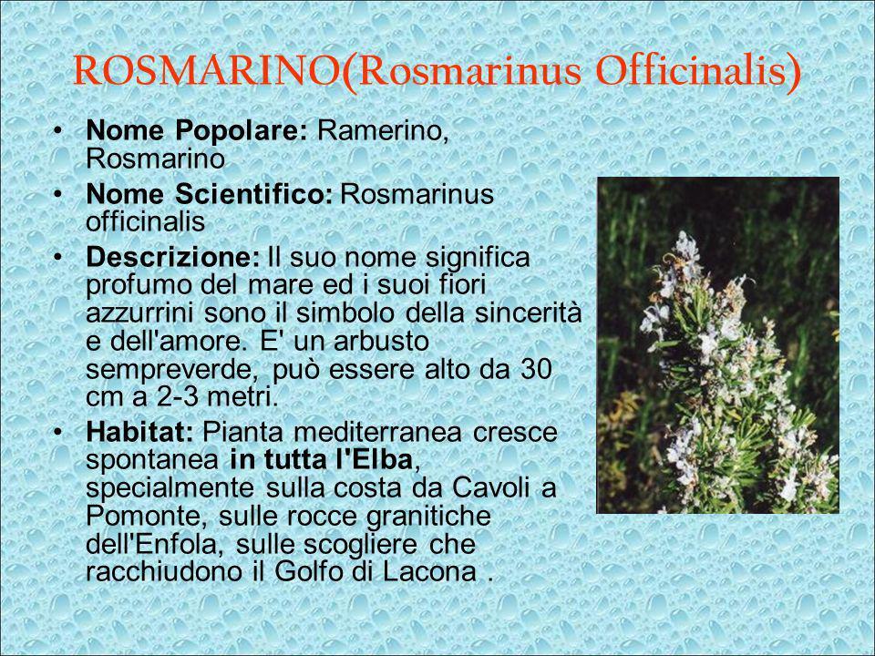 ROSMARINO(Rosmarinus Officinalis) Nome Popolare: Ramerino, Rosmarino Nome Scientifico: Rosmarinus officinalis Descrizione: Il suo nome significa profu