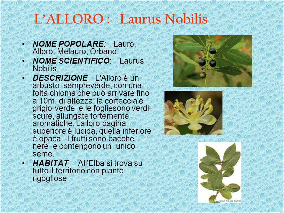 LALLORO : Laurus Nobilis NOME POPOLARE: Lauro, Alloro, Melauro, Orbano. NOME SCIENTIFICO: Laurus Nobilis DESCRIZIONE L'Alloro è un arbusto sempreverde