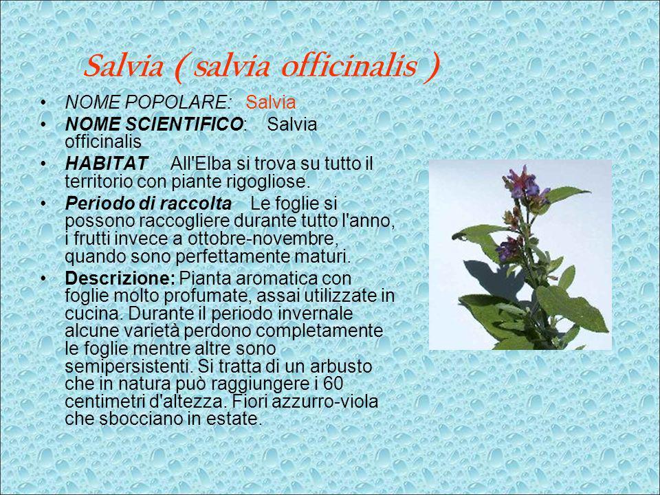 Salvia ( salvia officinalis ) NOME POPOLARE: Salvia NOME SCIENTIFICO: Salvia officinalis HABITAT All'Elba si trova su tutto il territorio con piante r