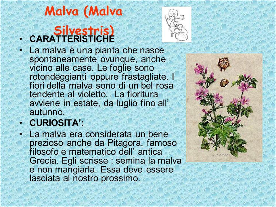 Malva (Malva Silvestris) CARATTERISTICHE La malva è una pianta che nasce spontaneamente ovunque, anche vicino alle case. Le foglie sono rotondeggianti