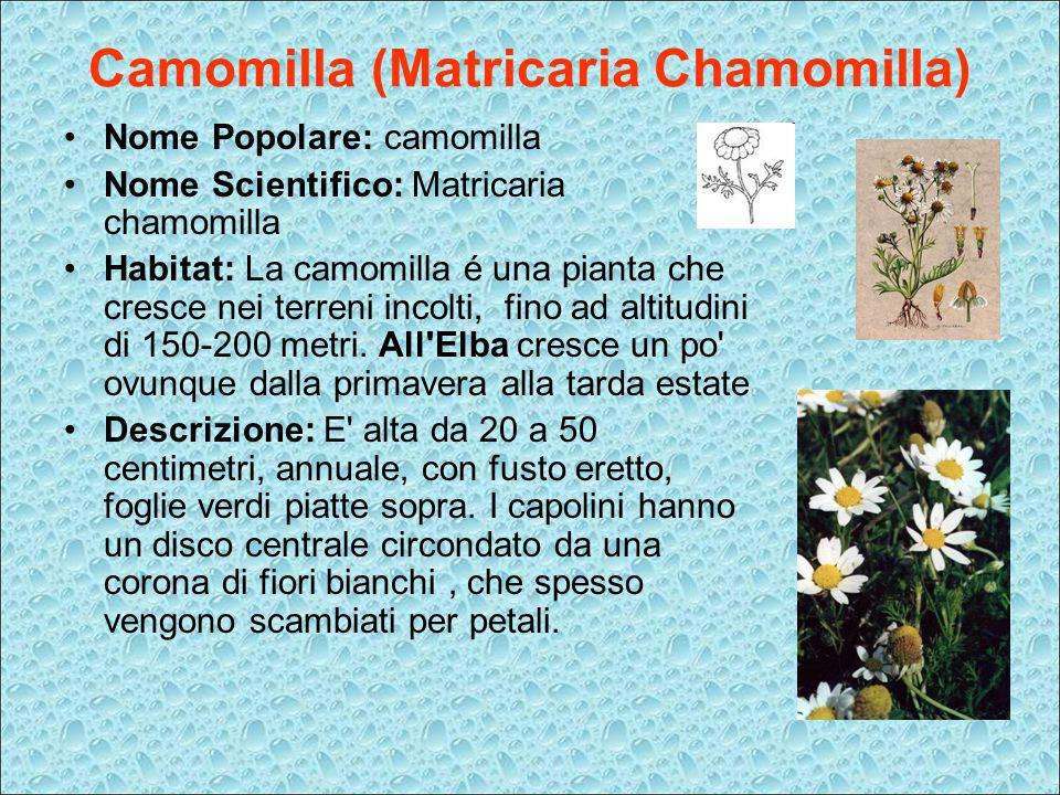 Camomilla (Matricaria Chamomilla) Nome Popolare: camomilla Nome Scientifico: Matricaria chamomilla Habitat: La camomilla é una pianta che cresce nei t