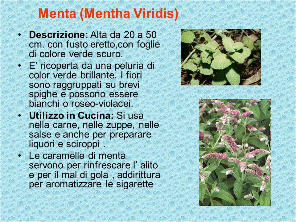 Menta (Mentha Viridis) Descrizione: Alta da 20 a 50 cm. con fusto eretto,con foglie di colore verde scuro. E ricoperta da una peluria di color verde b