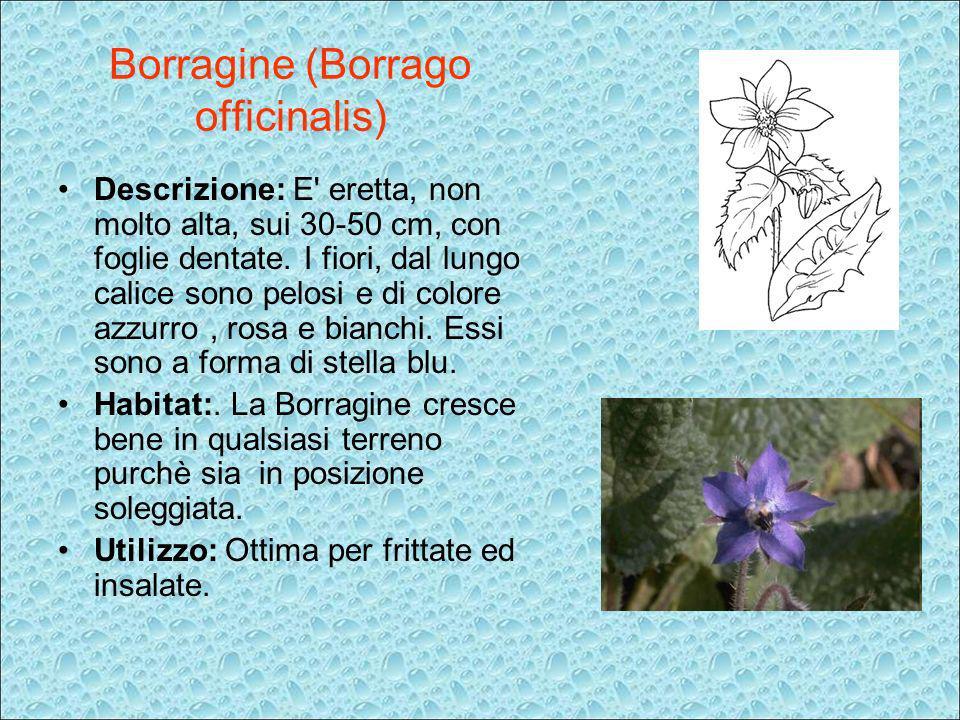 Descrizione: E' eretta, non molto alta, sui 30-50 cm, con foglie dentate. I fiori, dal lungo calice sono pelosi e di colore azzurro, rosa e bianchi. E