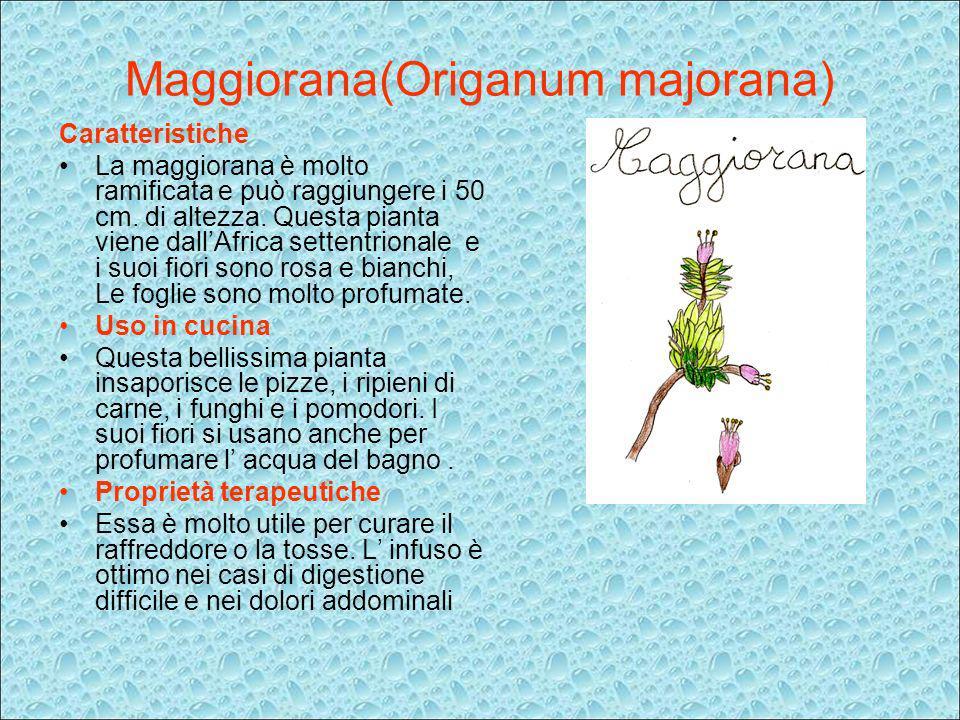 Maggiorana(Origanum majorana) Caratteristiche La maggiorana è molto ramificata e può raggiungere i 50 cm. di altezza. Questa pianta viene dallAfrica s