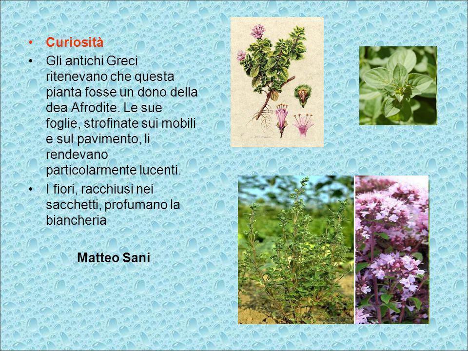 Curiosità Gli antichi Greci ritenevano che questa pianta fosse un dono della dea Afrodite. Le sue foglie, strofinate sui mobili e sul pavimento, li re