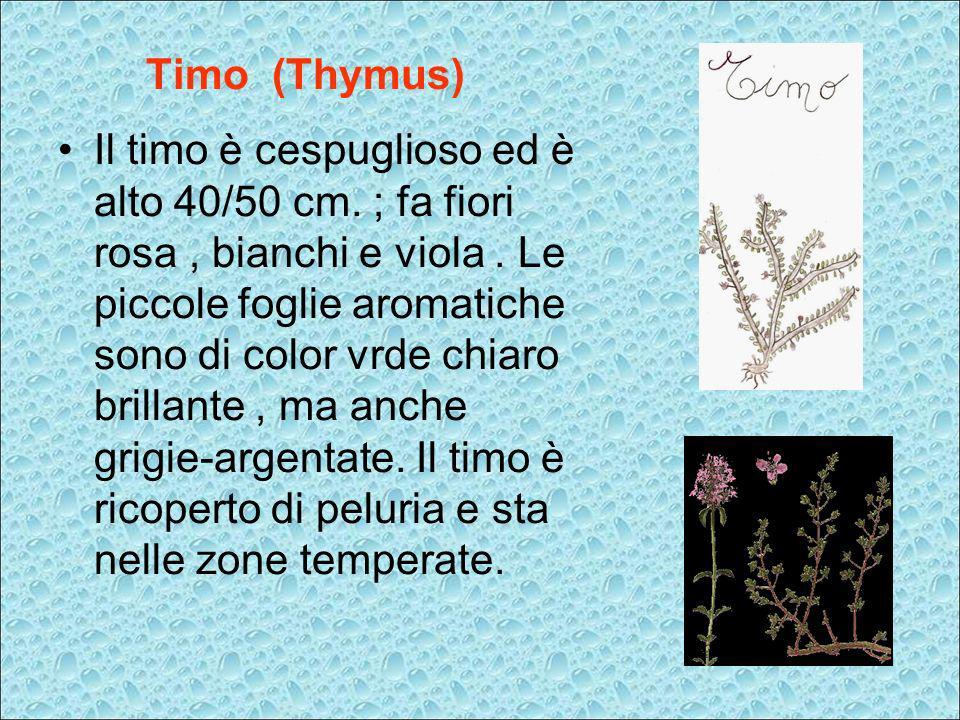 Timo (Thymus) Il timo è cespuglioso ed è alto 40/50 cm. ; fa fiori rosa, bianchi e viola. Le piccole foglie aromatiche sono di color vrde chiaro brill