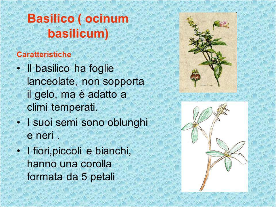 Basilico ( ocinum basilicum) Caratteristiche Il basilico ha foglie lanceolate, non sopporta il gelo, ma è adatto a climi temperati. I suoi semi sono o