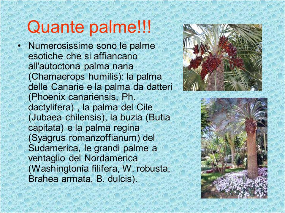 Quante palme!!! Numerosissime sono le palme esotiche che si affiancano all'autoctona palma nana (Chamaerops humilis): la palma delle Canarie e la palm