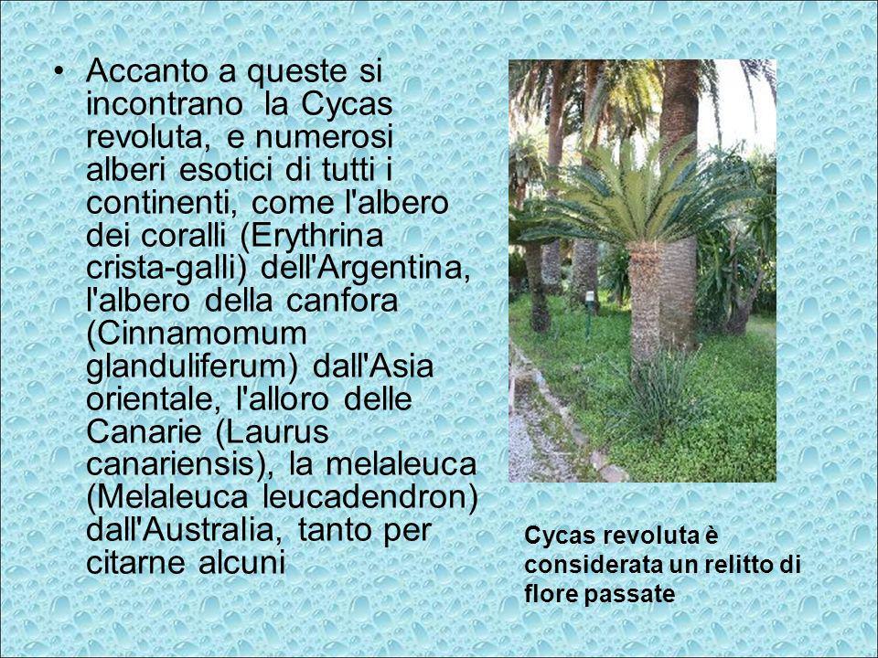 Accanto a queste si incontrano la Cycas revoluta, e numerosi alberi esotici di tutti i continenti, come l'albero dei coralli (Erythrina crista-galli)