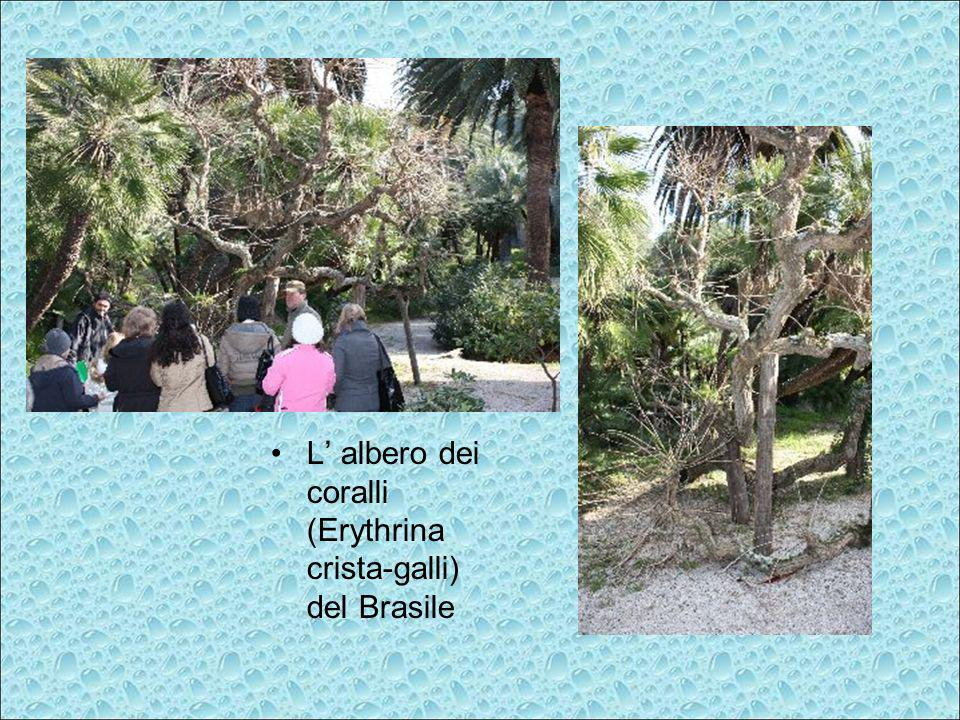 L albero dei coralli (Erythrina crista-galli) del Brasile