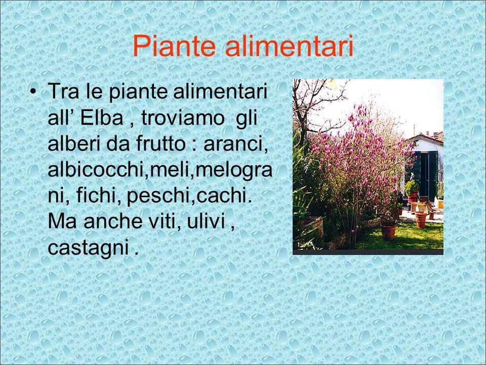 Piante alimentari Tra le piante alimentari all Elba, troviamo gli alberi da frutto : aranci, albicocchi,meli,melogra ni, fichi, peschi,cachi. Ma anche
