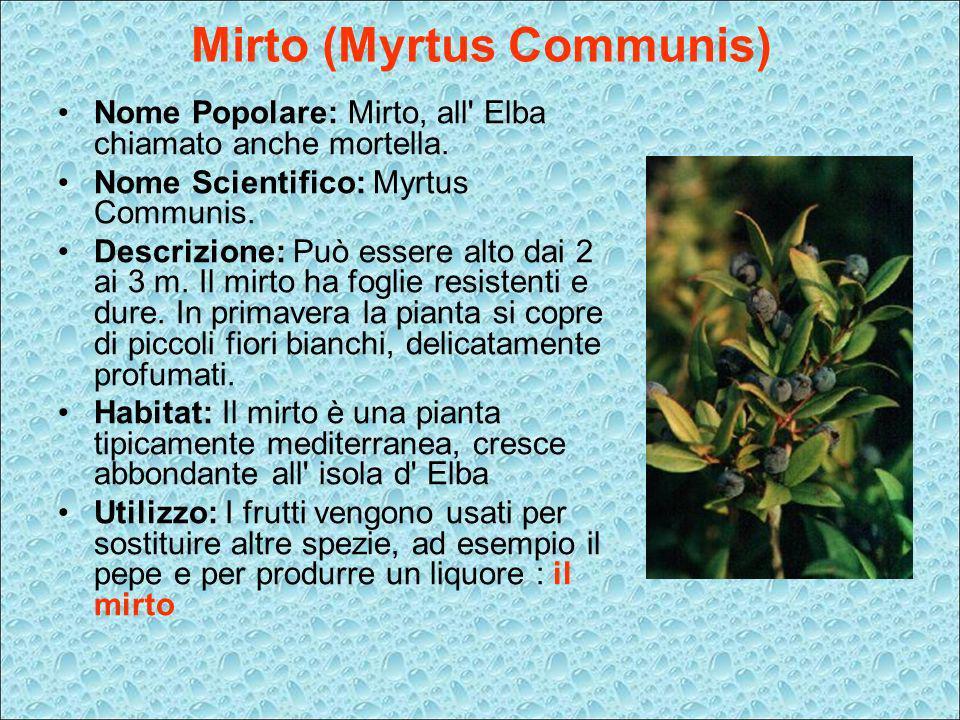 Mirto (Myrtus Communis) Nome Popolare: Mirto, all' Elba chiamato anche mortella. Nome Scientifico: Myrtus Communis. Descrizione: Può essere alto dai 2