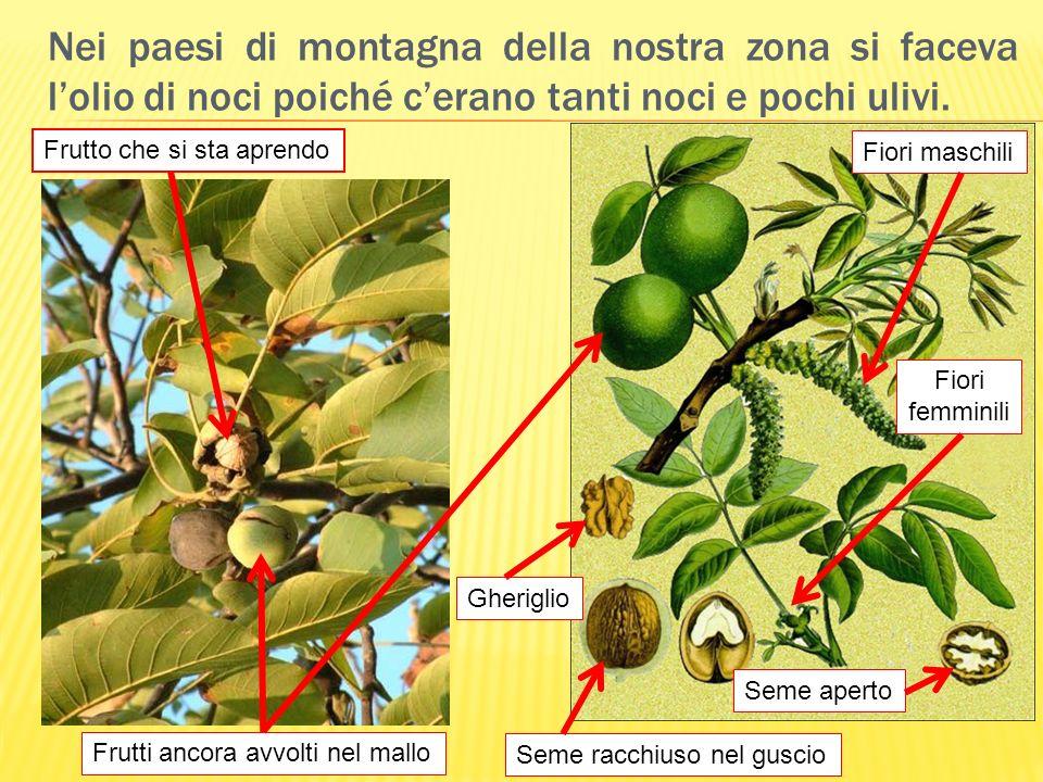 Nei paesi di montagna della nostra zona si faceva lolio di noci poiché cerano tanti noci e pochi ulivi. Seme racchiuso nel guscio Gheriglio Seme apert
