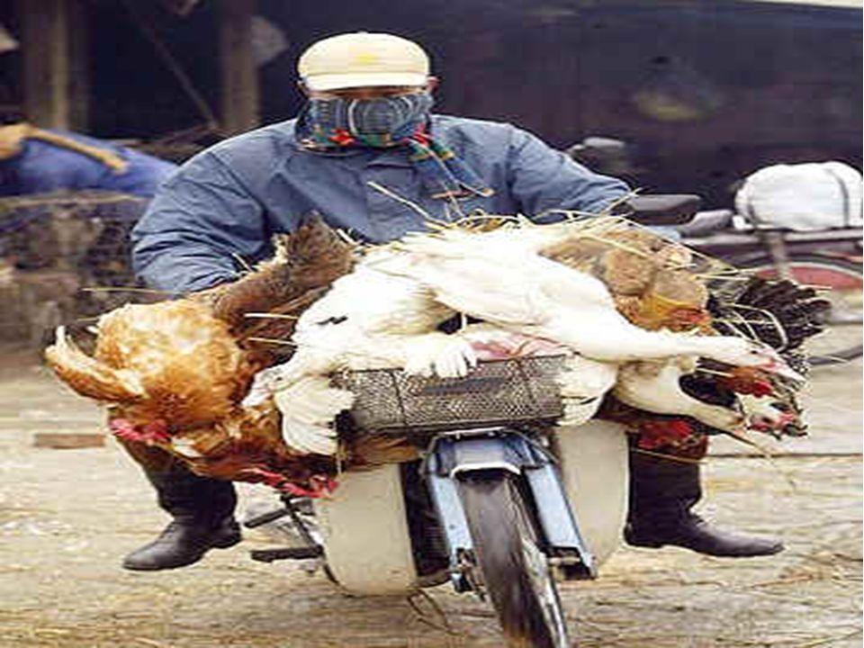 5 – IL VIRUS H5N1 Il virus H5N1 è il responsabile dell influenza aviaria a partire dal 1997 ad oggi e causa un elevata mortalità dei volatili nelle zo