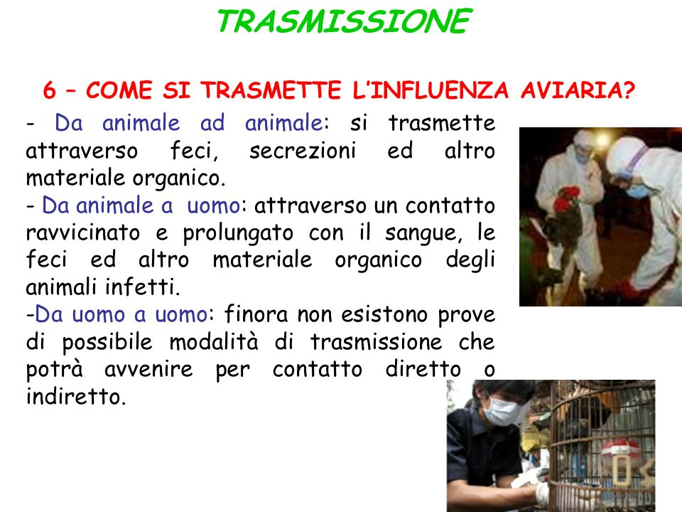 TRASMISSIONE 6 – COME SI TRASMETTE L INFLUENZA AVIARIA? - Da animale ad animale: si trasmette attraverso feci, secrezioni ed altro materiale organico.