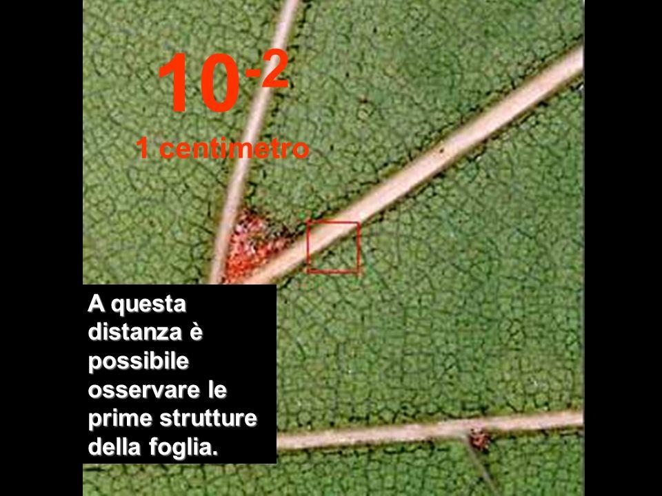 Avvicinandoci a 10 cm siamo in grado di osservare bene una foglia del ramo. 10 -1 10 centimetri