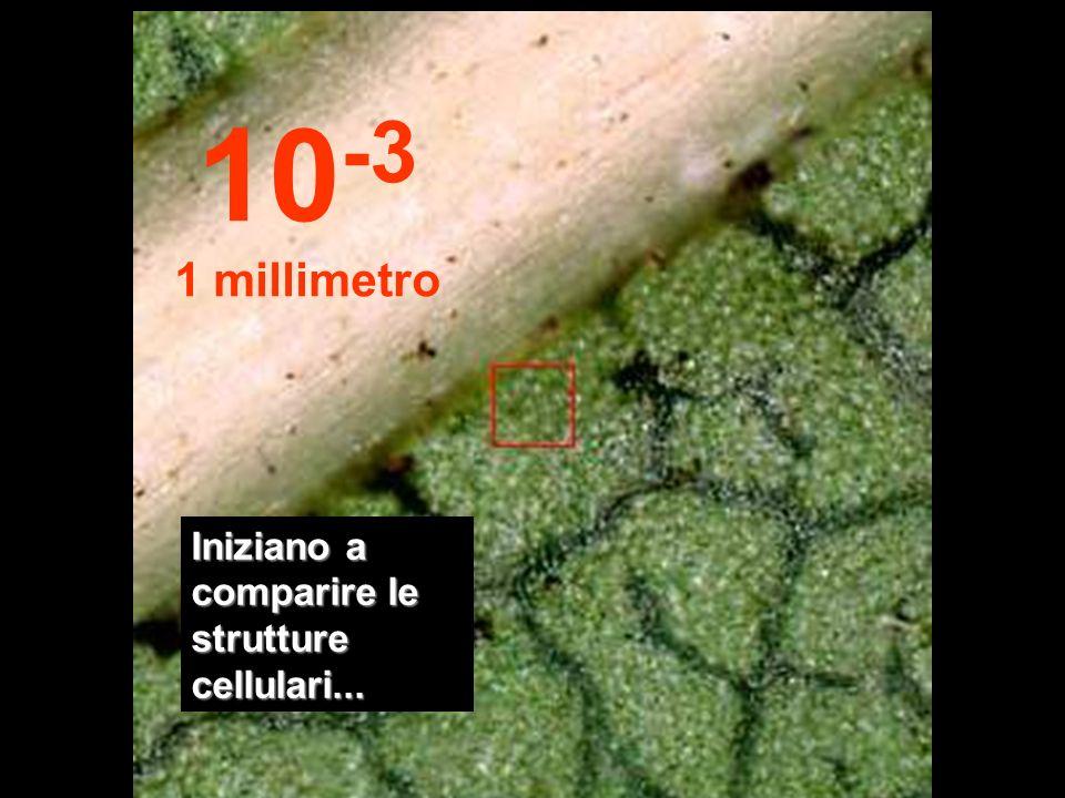 A questa distanza è possibile osservare le prime strutture della foglia. 10 -2 1 centimetro
