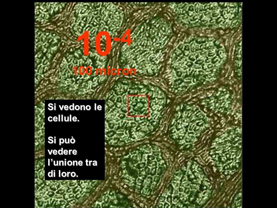Iniziano a comparire le strutture cellulari... 10 -3 1 millimetro