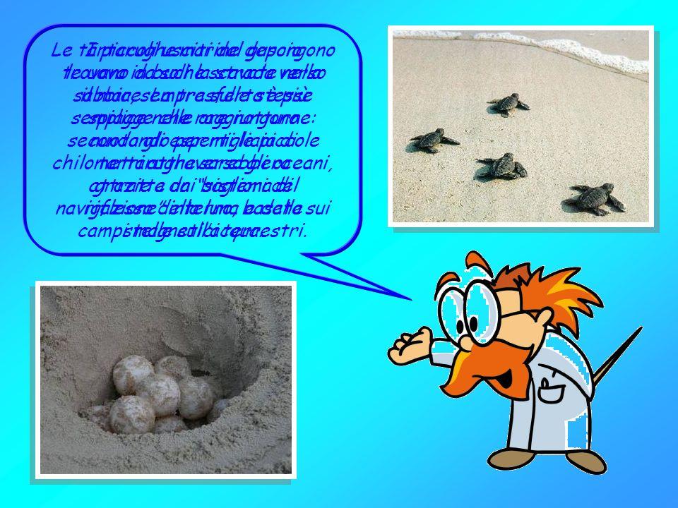 Le tartarughe marine sono rettili che si sono adattati a vivere in mare. Sono sette le specie che vivono nei mari della nostra Terra: la tartaruga com
