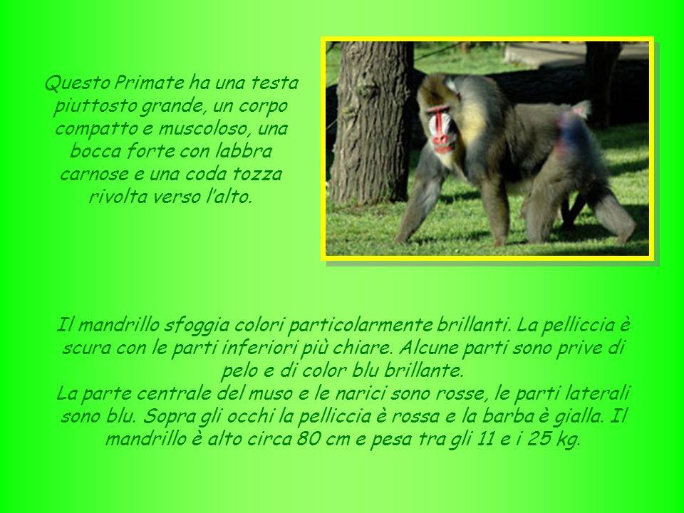 NOME: mandrillo SEGNI PARTICOLARI: animale coloratissimo con corpo muscoloso e testa molto grande CLASSE: mammiferi