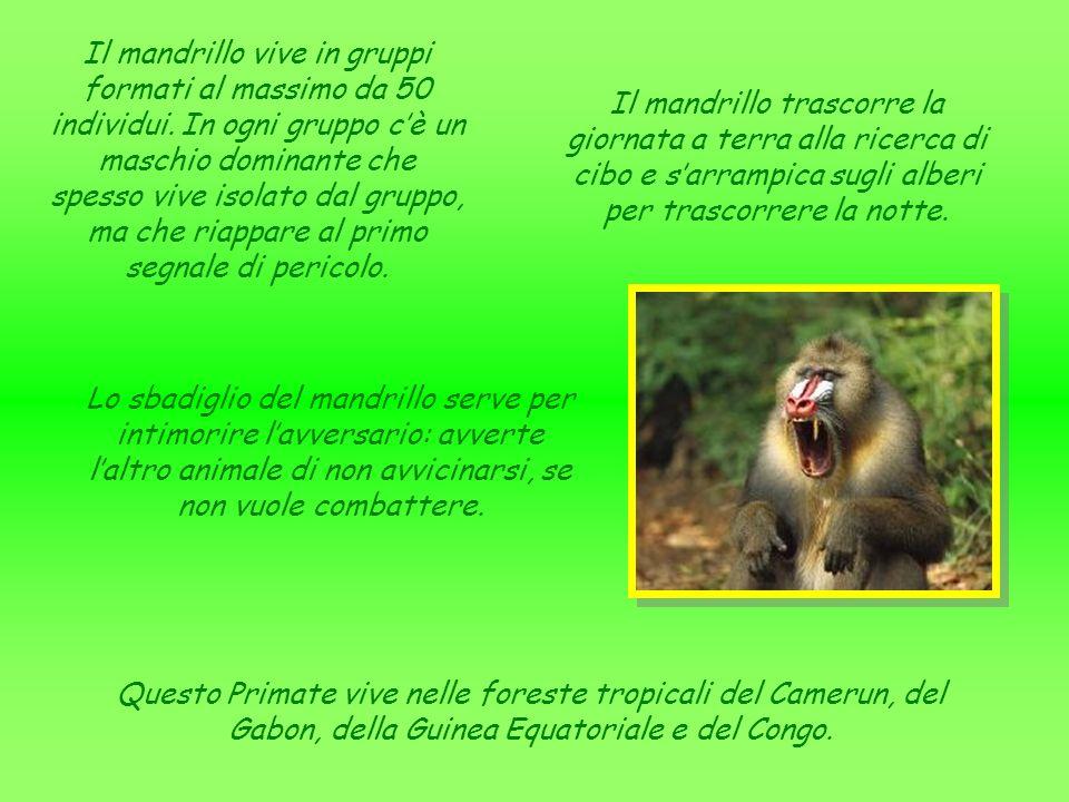 Questo Primate ha una testa piuttosto grande, un corpo compatto e muscoloso, una bocca forte con labbra carnose e una coda tozza rivolta verso lalto.