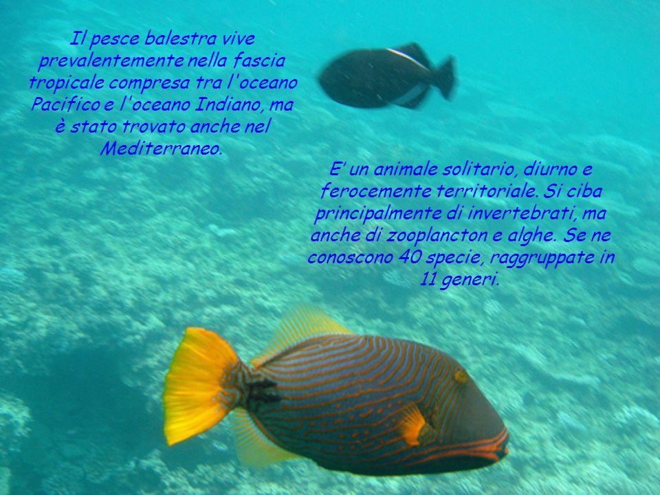 NOME: pesce balestra SEGNI PARTICOLARI: corpo coloratissimo, denti forti, adatti a triturare le conchiglie delle sue prede CLASSE: pesci