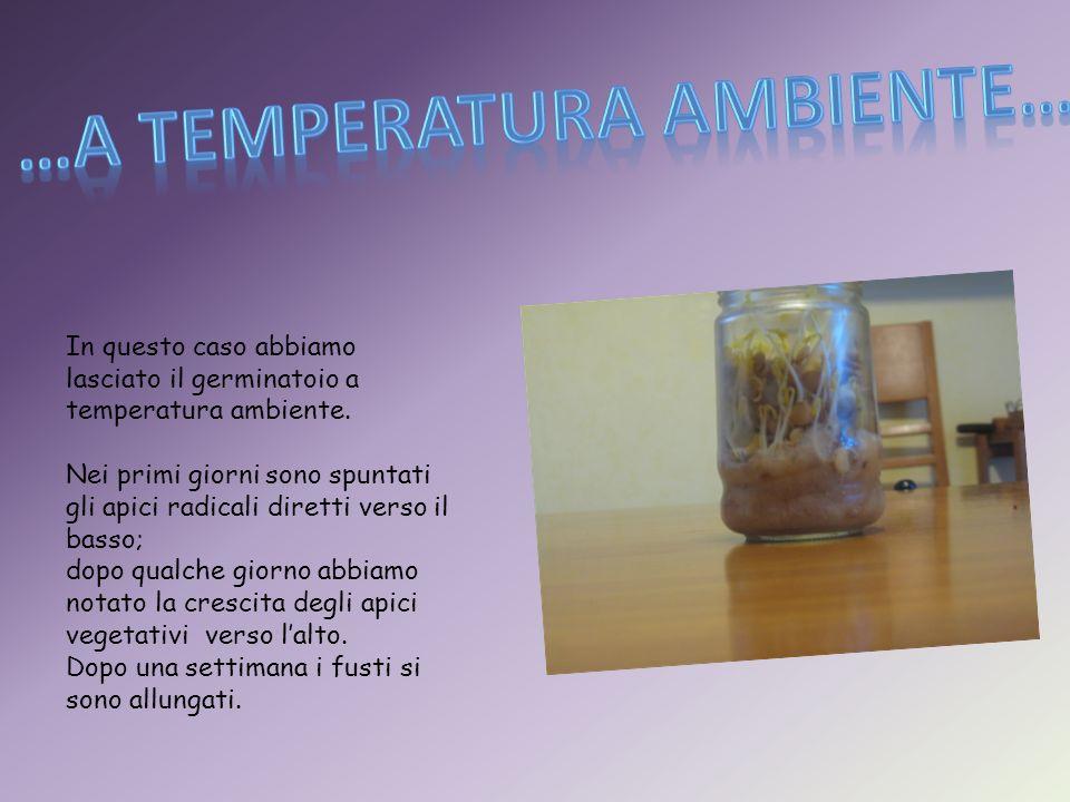 Abbiamo allestito il germinatoio con delle lenticchie e lo abbiamo conservato in frigo.