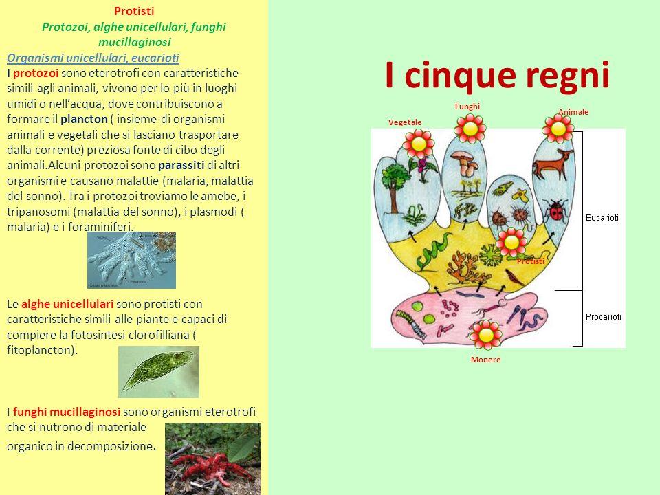I cinque regni Vegetale Funghi Animale Monere Protisti Protozoi, alghe unicellulari, funghi mucillaginosi Organismi unicellulari, eucarioti I protozoi