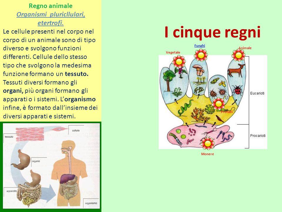 I cinque regni Vegetale Funghi Animale Monere Protisti Regno animale Organismi pluricllulari, etertrofi.