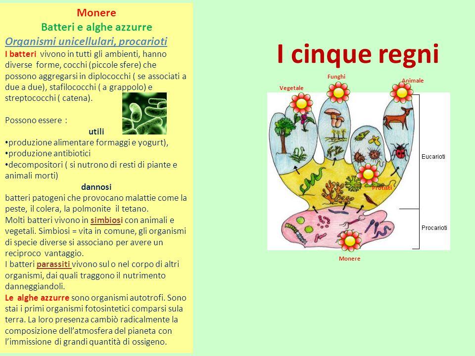 I cinque regni Monere Batteri e alghe azzurre Organismi unicellulari, procarioti I batteri vivono in tutti gli ambienti, hanno diverse forme, cocchi (