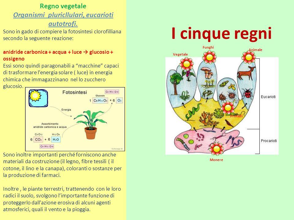 I cinque regni Vegetale Funghi Animale Monere Protisti Regno vegetale Organismi pluricllulari, eucarioti autotrofi. Sono in gado di compiere la fotosi
