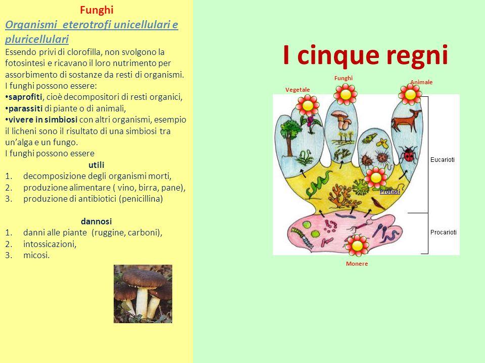 I cinque regni Vegetale Funghi Animale Monere Protisti Funghi Organismi eterotrofi unicellulari e pluricellulari Essendo privi di clorofilla, non svol