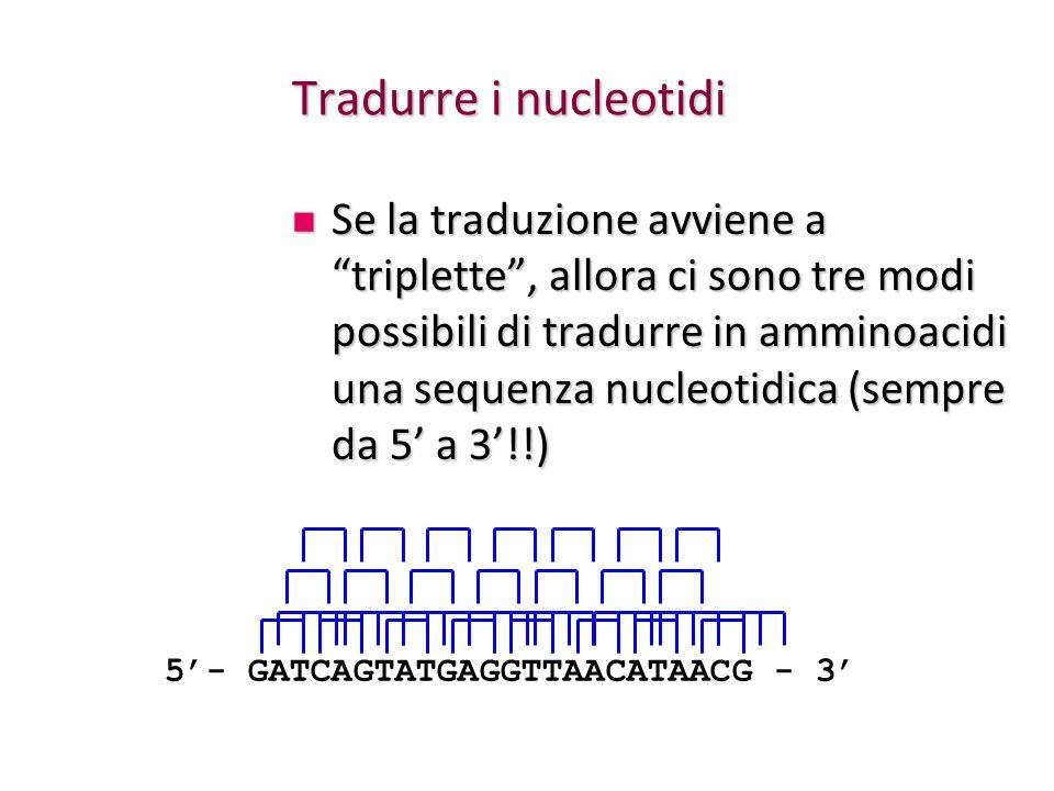 Tradurre i nucleotidi Se la traduzione avviene a triplette, allora ci sono tre modi possibili di tradurre in amminoacidi una sequenza nucleotidica (se