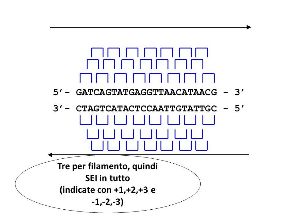 5- GATCAGTATGAGGTTAACATAACG - 3 3- CTAGTCATACTCCAATTGTATTGC - 5 Tre per filamento, quindi SEI in tutto (indicate con +1,+2,+3 e -1,-2,-3)