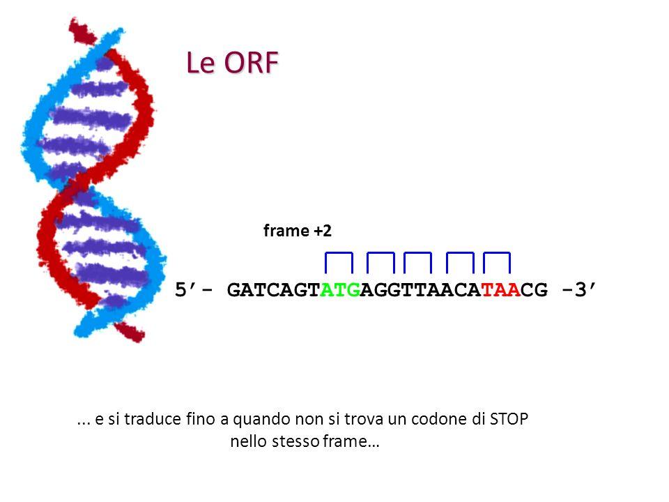 Le ORF 5- GATCAGTATGAGGTTAACATAACG -3... e si traduce fino a quando non si trova un codone di STOP nello stesso frame… frame +2