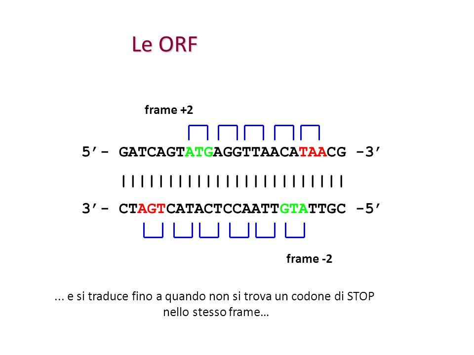 Le ORF 5- GATCAGTATGAGGTTAACATAACG -3 |||||||||||||||||||||||| 3- CTAGTCATACTCCAATTGTATTGC -5... e si traduce fino a quando non si trova un codone di