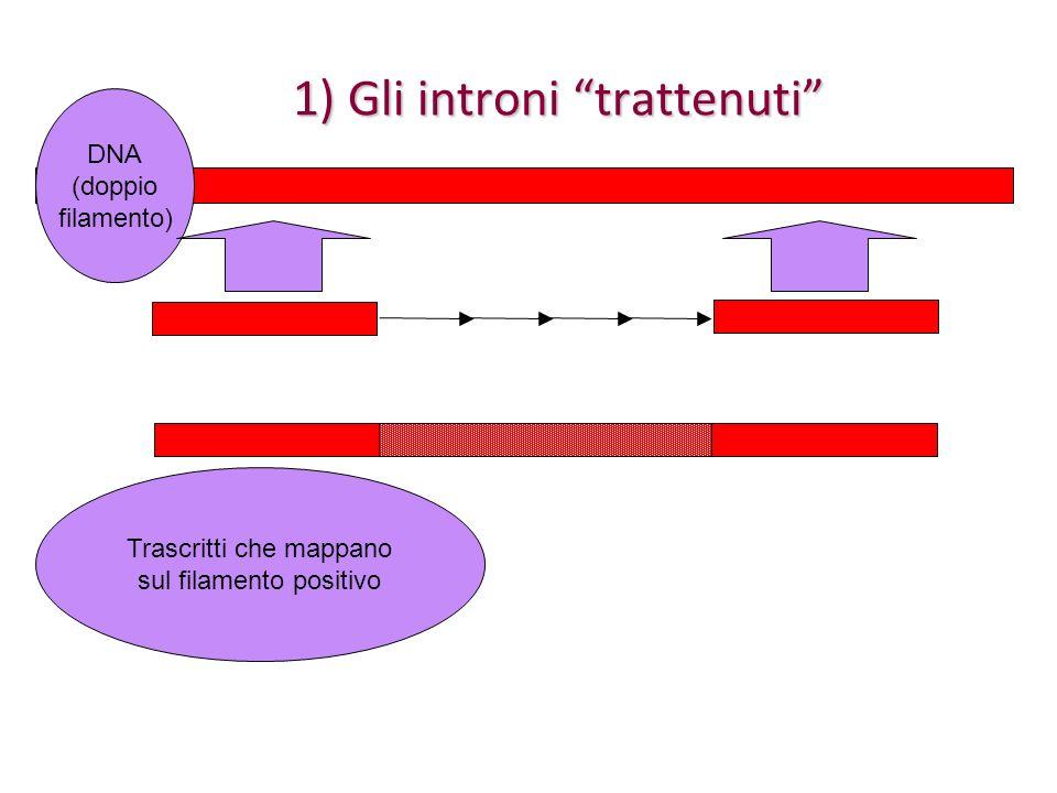 1) Gli introni trattenuti DNA (doppio filamento) Trascritti che mappano sul filamento NEGATIVO