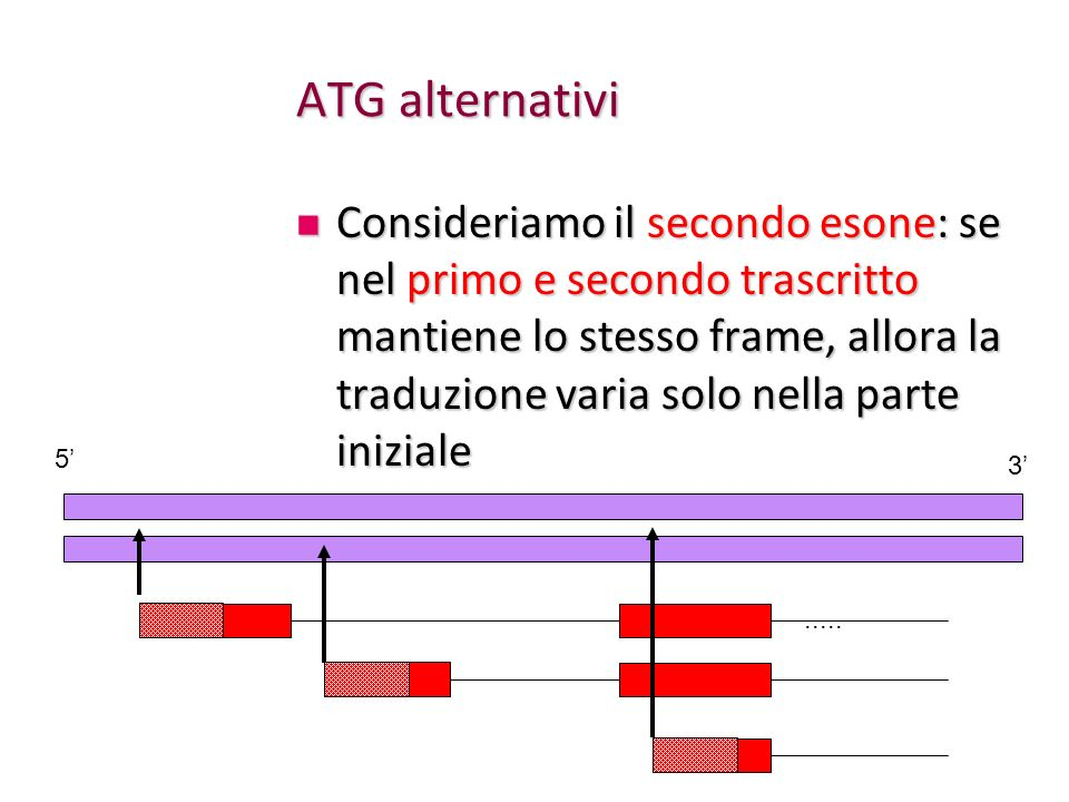ATG alternativi Consideriamo il secondo esone: se nel primo e secondo trascritto mantiene lo stesso frame, allora la traduzione varia solo nella parte